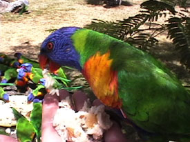 Parrot Chow